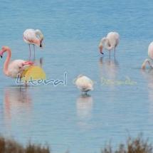 Flamencos laguna delta del Ebro