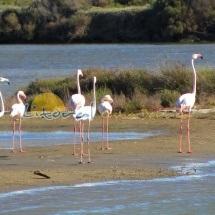 Flamencos Delta del Ebro